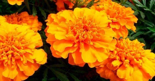 Бархатцы: выращивание из семян, когда сажать