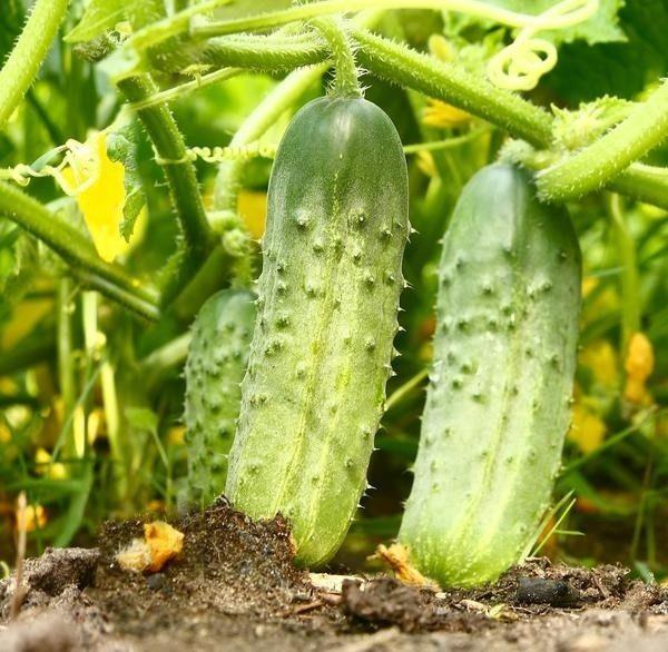 Огурцы: лучшие сорта для открытого грунта