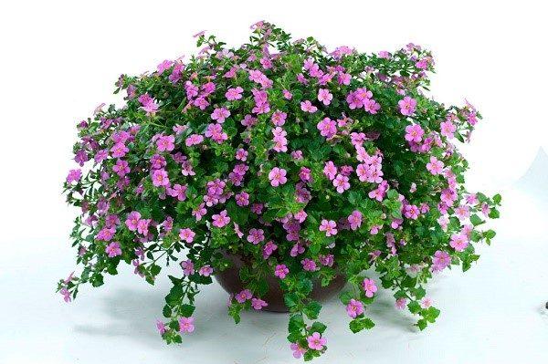 Бакопа: выращивание из семян