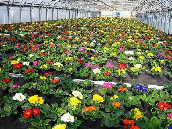 Выращивание цветов на продажу в домашних условиях