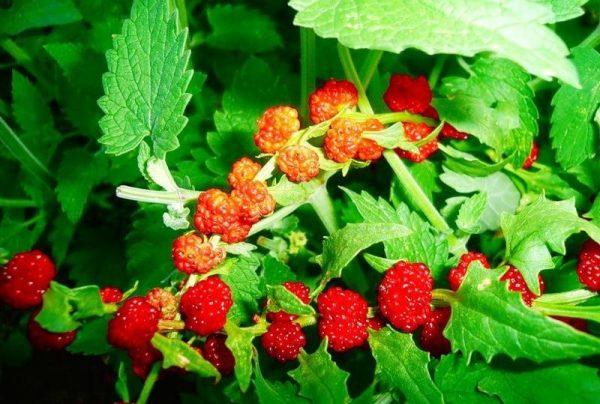 Шпинат земляничный: выращивание из семян
