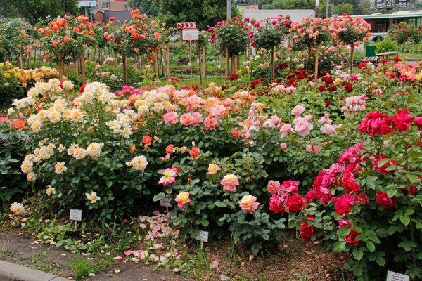 Чайно-гибридные розы: посадка и уход