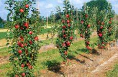 Колоновидные яблони с богатым урожаем