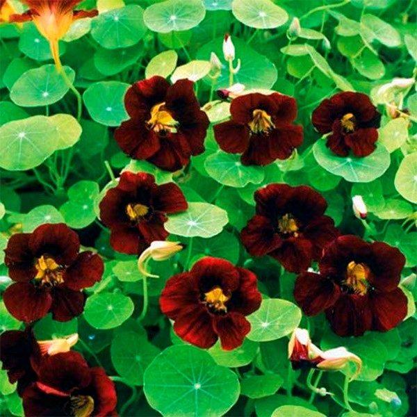 Правильный уход за настурцией обеспечивает ее пышное цветение