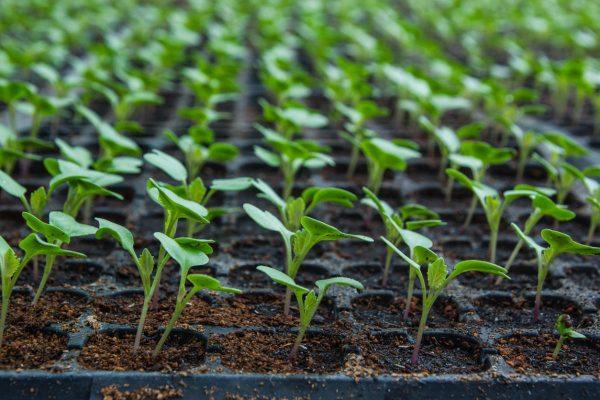 Семена цветной капусты не высаживают в общий ящик