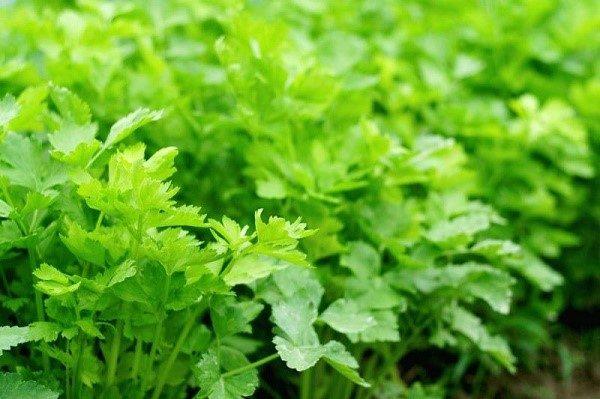 Дабы избавить растения от вредителей, необходимо тщательно обрабатывать их покупными смесями или самостоятельно приготовленными растворами