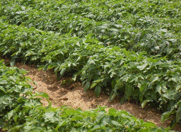 Порей хорошо выращивать на картофельных грядках
