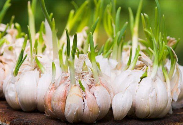 Хорошей идеей станет проращивание зубчиков чеснока перед посадкой в грунт, так как таким образом вы сможете в разы быстрее получить имеющийся у вас урожай