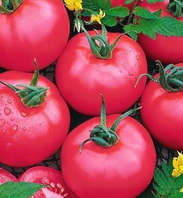 """Сортовая разновидность """"Легионер"""" внешне действительно напоминает рядового члена римского легиона, так как выглядят уродившиеся томаты, как братья-близнецы"""