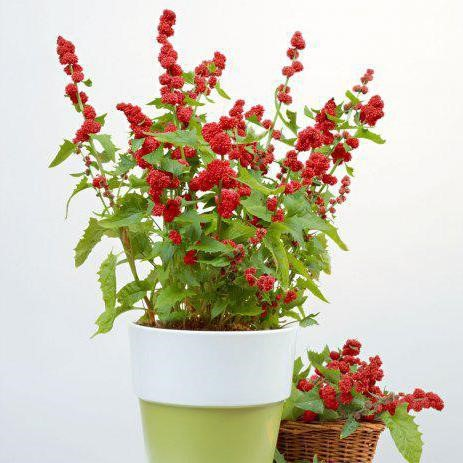 Земляничный шпинат можно выращивать в горшках