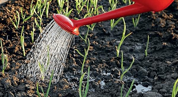 Обильность полива чеснока должна соответствовать фазе роста и развития рассматриваемого нами растения