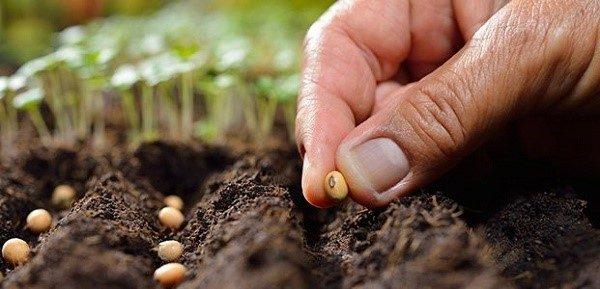 При соблюдении определенных условий, декоративную фасоль можно высаживать сразу в открытый грунт