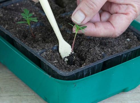 Прикапывать цветки можно обычной пластиковой ложечкой