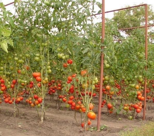 Если правильно подобрать сорта, то можно выращивать помидоры в открытом грунте с таким же успехом, как и в теплице