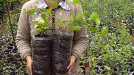 На постоянное место пересаживают молодые растения, которым уже исполнилось 2 года
