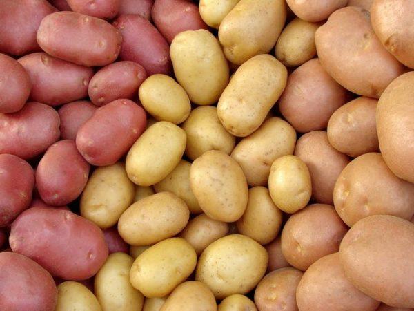 Засаживать всё поле одним сортом картошки – недальновидно