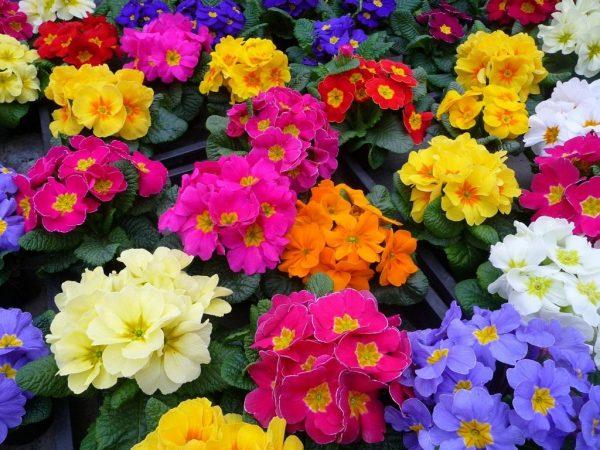 Существует около 500 сортов с различной формой соцветий и сроком цветения