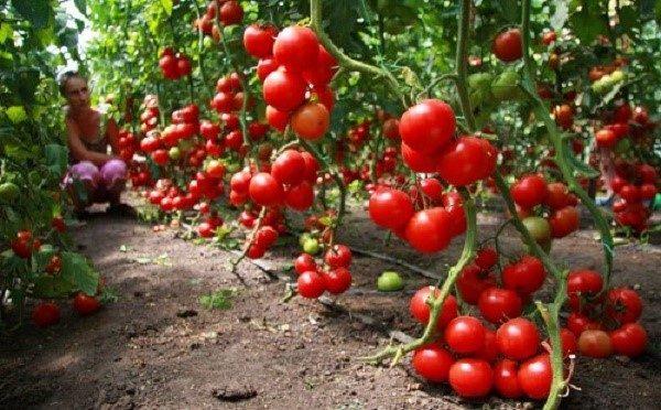 """Томат сорта """"Альфа"""" - раннее и низкорослое растение, уже много лет занимающее первые позиции среди рейтингов лучших помидор, составляемых российскими садоводами и огородниками"""