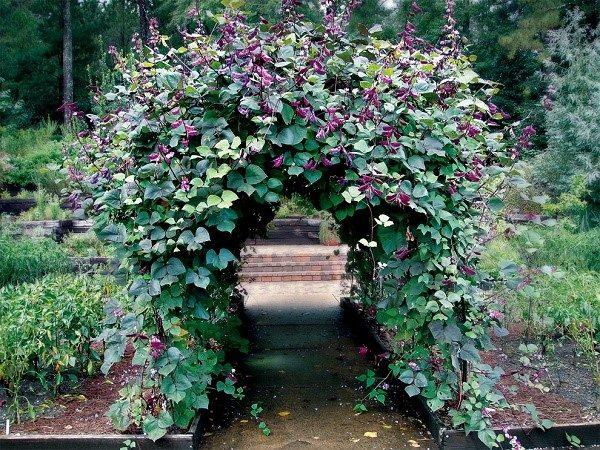 Российские садоводы особенно ценят сорта декоративной фасоли, дающие крупные пурпурные и красные цветы