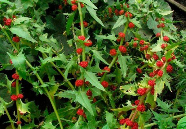 Земляничный шпинат относится к семейству амарантовых