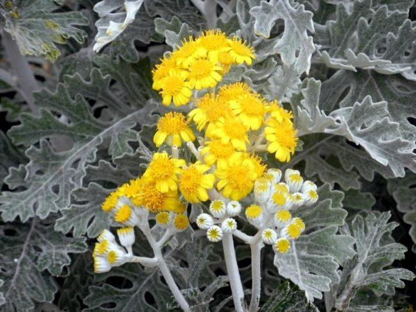 Цветение приморской цинерарии