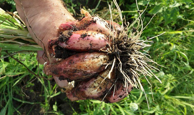 Крупная составная луковица