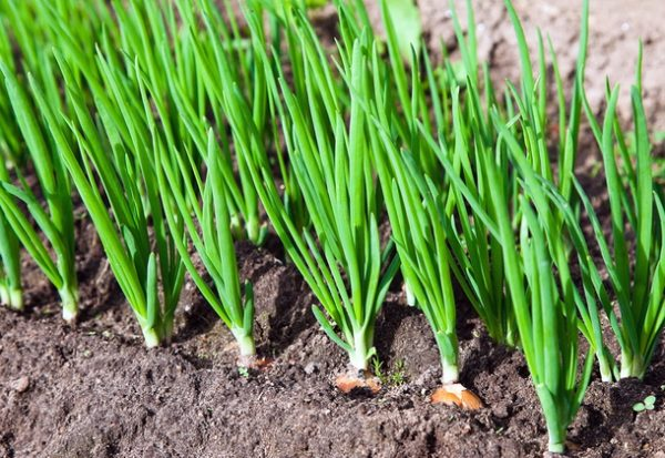 Высадка лука-шалота под зиму позволяет раньше получить зеленые перья