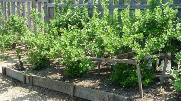 Образцовая посадка черной крупноплодной смородины