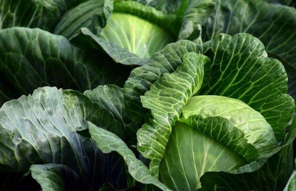 Капуста, семена: лучшие сорта для открытого грунта
