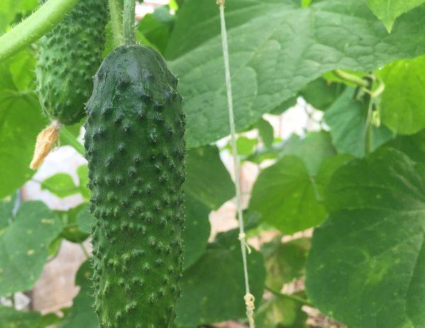 Гибрид Кураж является одним из самых урожайных