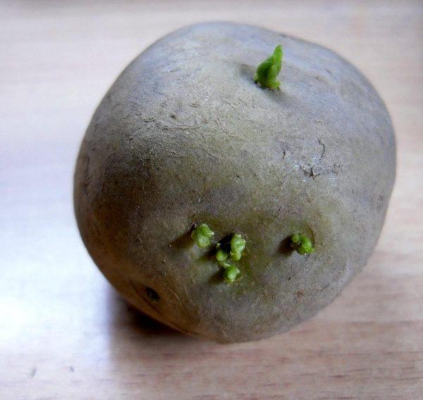 Зелёные ростки на «посадочном» клубне