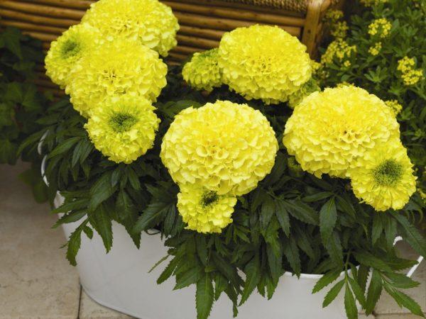 Жёлтый тагетес