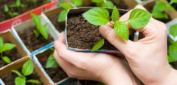 Калий особенно нужен растениям на этапе возрастания сеянцев