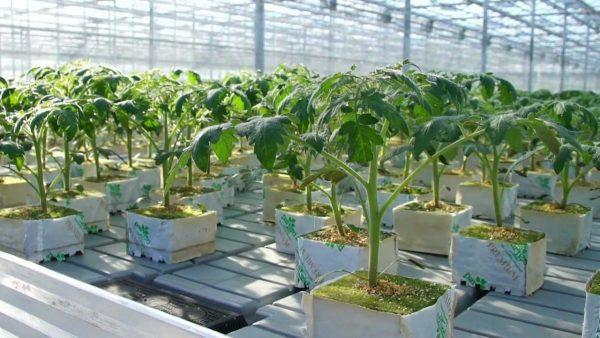 Посадка помидоров по голландской методике