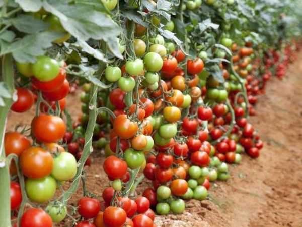 Супердетерминантные сорта помидоров