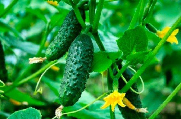 Если правильно выбрать сорта огурца, до даже за короткое и не всегда теплое лето можно собрать солидный урожай огурцов