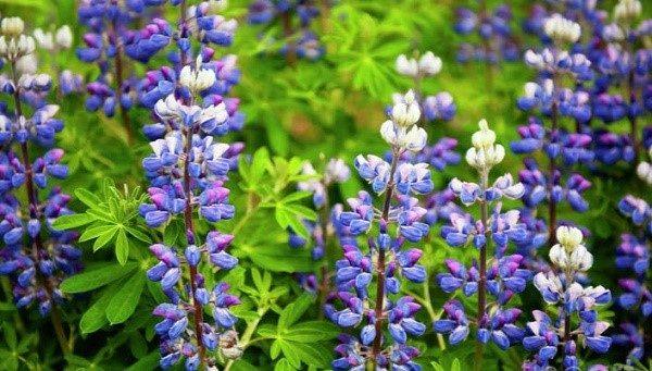 Существующие разновидности люпинов делятся по группам на растения, способные цвести один-два года, а также многолетние цветы