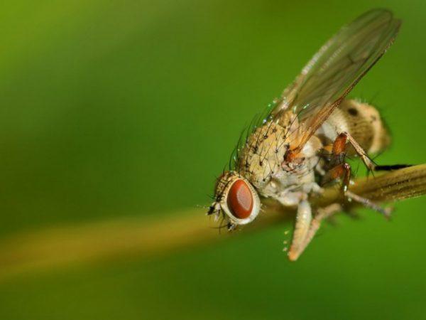Атаки луковой мухи способны уничтожить весь урожай
