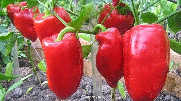 Самостоятельно взрастить из перца-гибрида повторный обильный урожай у вас вряд ли получится