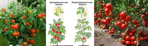 Отличия индетерминантных и детерминантных сортов помидоров