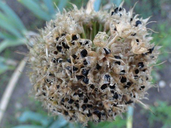 """Чтобы самостоятельно получить семена лука-шалота, нужно заставить его """"уйти в стрелку"""", то есть образовать коробочку с семенами"""