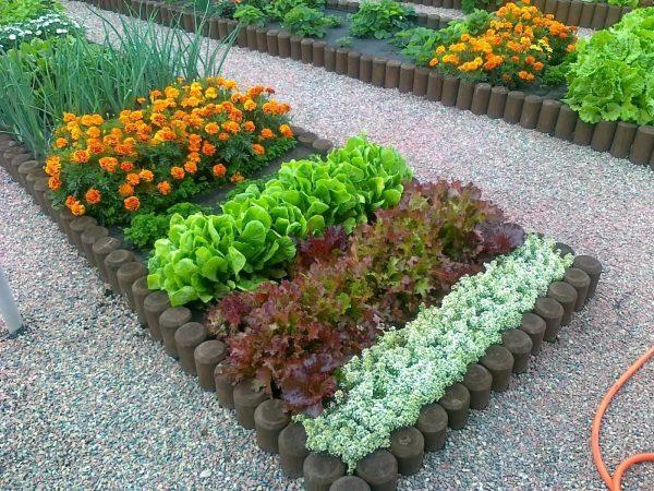 Бархатцы на страже других растений