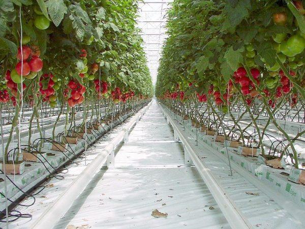 Томаты по-голландски выращивают крытым способом