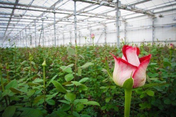 Тепличное выращивание роз