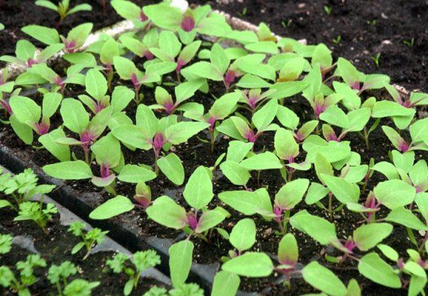 Высаживать земляничный шпинат можно прямо в грунт