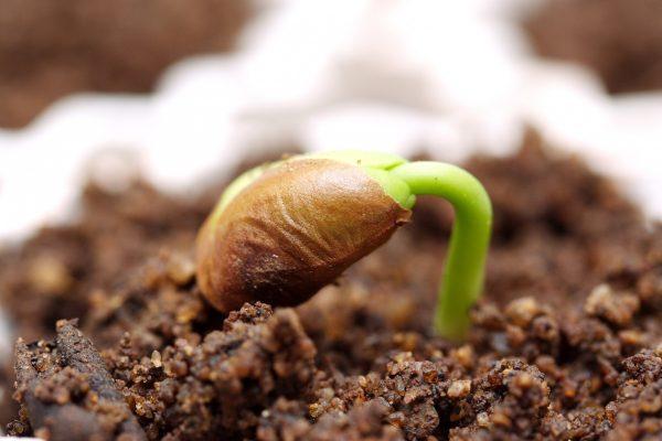 Стратификация — искусственное моделирование процессов пробуждения для семян