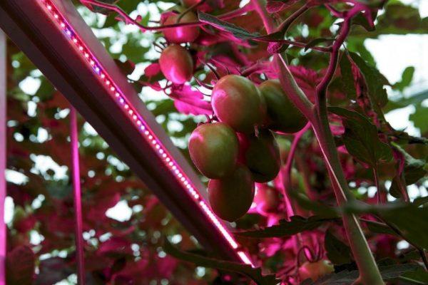 Инфракрасный обогрев томатов