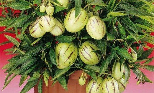 Если вы уже выращивали кустик пепино, и в вашем распоряжении был не гибридный сорт, можете попробовать заготовить семена для будущих посадок самостоятельно