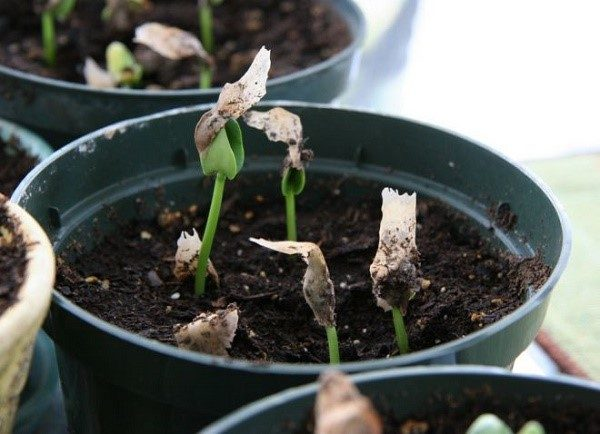Выращивать люпин лучше в горшке