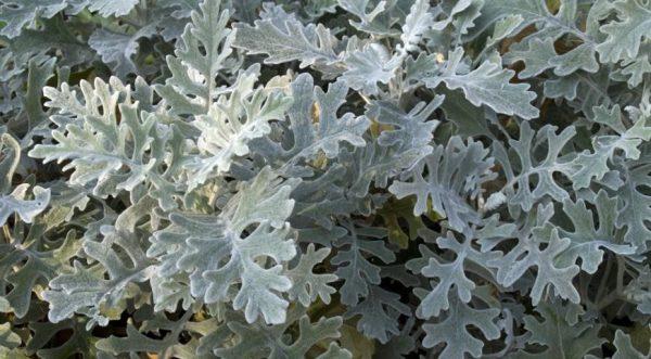 Цинерария – растение светолюбивое